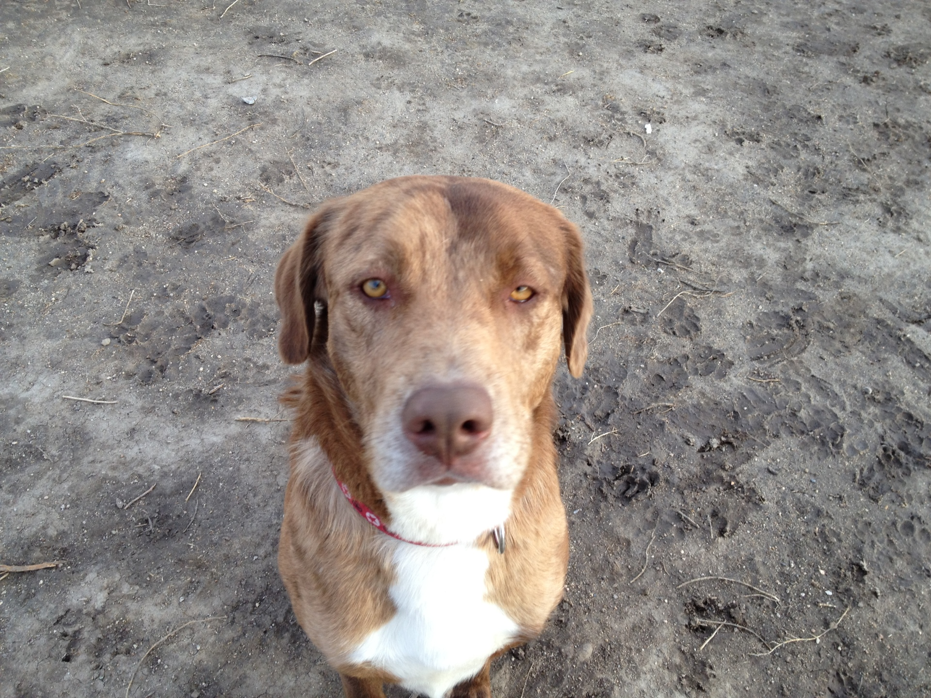BOOMER - 5 YEAR OLD MALE AUST.SHEP/LAB MIX